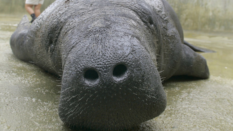 Manatees Are Dying Off, and Florida Is Determined to Speed it Up | All about water, the oceans, environmental issues | Scoop.it