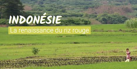 #Longformat: L' #Indonésie, la renaissance du riz rouge #Rfi | Remue-méninges FLE | Scoop.it