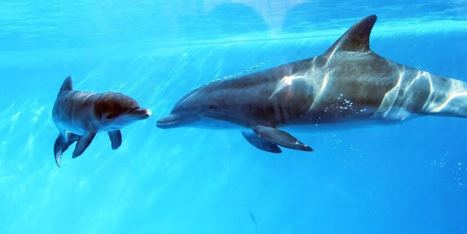 Dolphin In Captivity May Be First Discovered To Communicate With Baby In Womb - Huffington Post | World News | Scoop.it