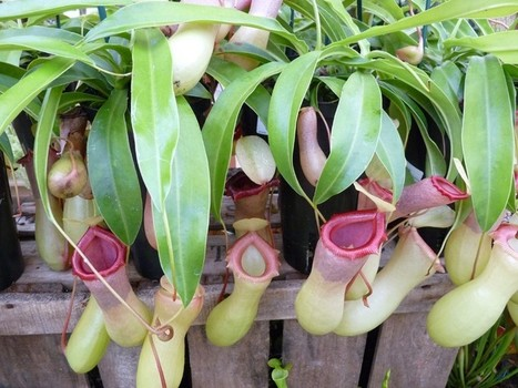 Photos de plantes carnivores : Nepenthes alata - Nepenthes copelandii | Faaxaal Forum Photos gratuite Faune et Flore | Scoop.it