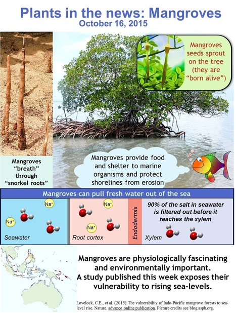 Plants in the News, October 16 2015: Marvellous Mangroves | Plant Science Today | Research | Scoop.it