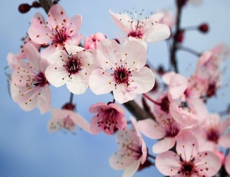 Plum Blossom: The National Flower of China   ProBloggerTricks   Scoop.it