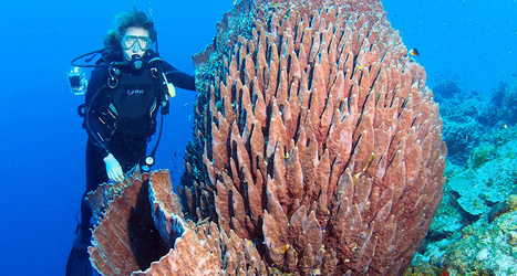 Giant barrel sponges are hijacking Florida's coral reefs | Science News | All about water, the oceans, environmental issues | Scoop.it