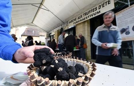 Dordogne: Des truffes blanches d'été vendues entre 80 et 120 euros le kilo | Agriculture en Dordogne | Scoop.it