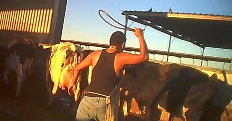 BREAKING! Another Dairy Worker Convicted of Animal Cruelty Following Hidden-Camera Investigation | Plant Based Transitions | Scoop.it