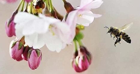 Les abeilles sauvages disparaissent faute d'habitats | Biodiversité & Relations Homme - Nature - Environnement : Un Scoop.it du Muséum de Toulouse | Scoop.it