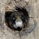Sauver les Abeilles Sauvages et Solitaires - mettez les Nichoirs à Abeilles en place | ALTERAPI | Scoop.it