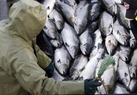 deadly disease found in British Columbia salmon | BUSINESS DEVELOPMENT | Scoop.it