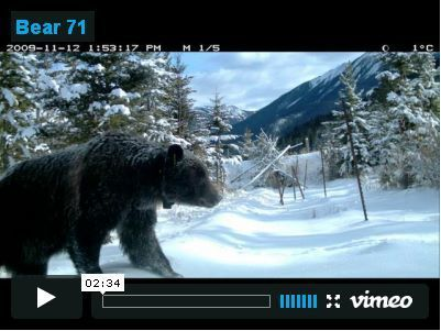 Bear 71 | Transmedia: Storytelling for the Digital Age | Scoop.it