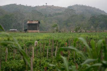 Typical crop/agriculture | Guatemala, amber hertzler | Scoop.it