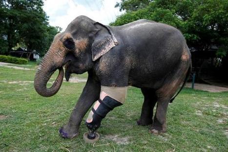 Best foot forward: Thai elephant gets her ninth prosthetic leg | Pachyderm Magazine | Scoop.it