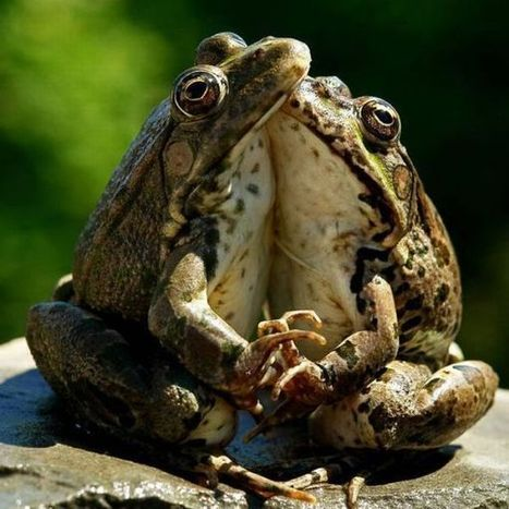 Funny Frogs | Weirdest Animal Behaviors | Scoop.it