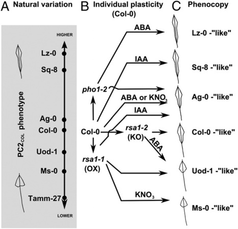PNAS: Integration of responses within and across Arabidopsis natural accessions uncovers loci controlling root systems architecture   Plant Biology Teaching Resources (Higher Education)   Scoop.it