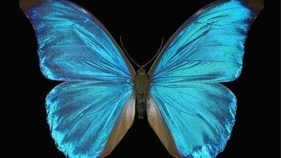 Butterfly wings inspire cosmetics and bomb detectors | @scoopit http://sco.lt/... | Biomimicry | Scoop.it
