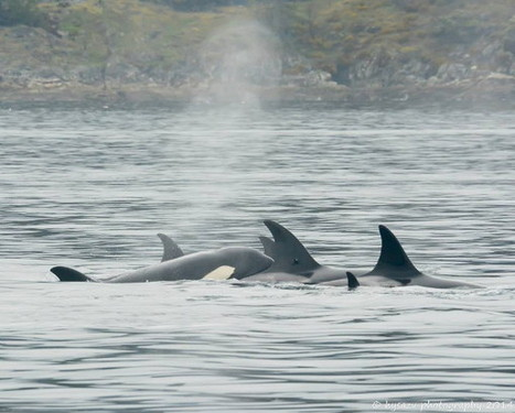 May 9, 2014 We are watching and visiting the whales in their home Please observe, love and respect them from a distance.   #OrcaAvengers   Scoop.it