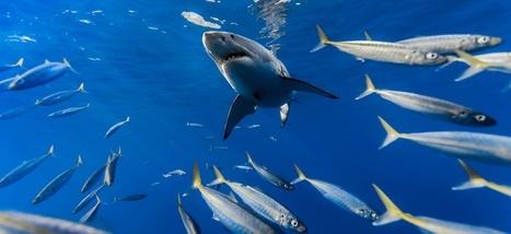 Pourquoi les grands requins blancs font-ils la fête tous les ans au milieu du Pacifique? | Chronique d'un pays où il ne se passe rien... ou presque ! | Scoop.it
