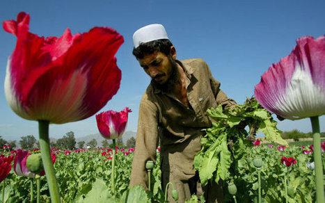 Increase in supply: Afghanistan opium poppy cultivation at record high  - Telegraph | #ASMIC | Scoop.it