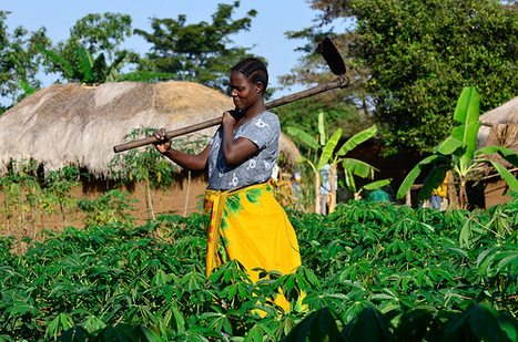 New approaches in adaptin agriculture to climate change - Coastweek | Climate Smart Agriculture | Scoop.it