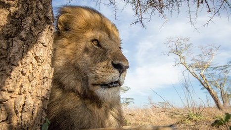 Hwange National Park: Protect Jericho the Lion | ~ADVOCATING FOR ALL ANIMALS~ | Scoop.it