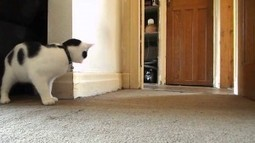 Pesky Laser Dot I'm Going To Getcha - Where You At? | Catnip Daily | Scoop.it