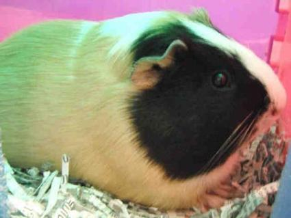 Cute Raleigh Pets on Twitter   St. Pepe De Porcine   Scoop.it