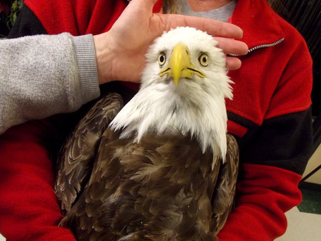 Mystery illness claims more bald eagles in Utah - NBCNews.com (blog) | Wildlife conservation | Scoop.it