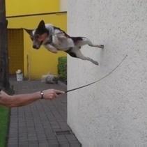 Jumpy, le chien qui sait tout faire, même de la trottinette ! (Vidéo du jour) | CaniCatNews-actualité | Scoop.it