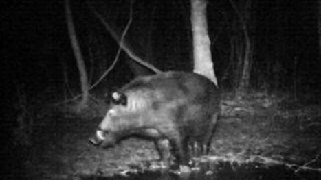 America's $1.5B problem: ruinous wild pigs   News You Can Use - NO PINKSLIME   Scoop.it