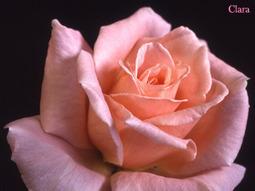Roses, Rose photos, gardening, breeding, nurseries, societies and everything Rose related. | Rose gardening for everyone | Scoop.it