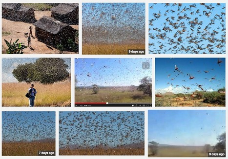 Madagascar hit by the most severe locust plague since the 1950s | Amazing Science | Scoop.it