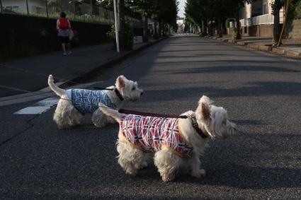 散歩の出発時刻が遅れたら街の様相がいつもとちがった   West Highland White Terrier   Scoop.it