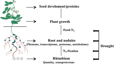 Drought Stress Responses in Soybean Roots and Nodules | Plant-Microbe Symbiosis | Scoop.it