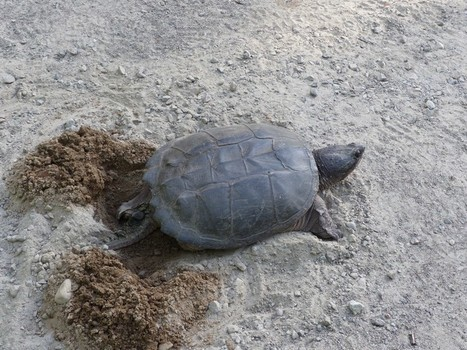 Photos de tortues aquatiques : Tortue serpentine - Chélydre serpentine - Chelydra serpentina - Common Snapping Turtle | Fauna Free Pics - Public Domain - Photos gratuites d'animaux | Scoop.it