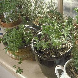 How to Grow Indoor Herbs : Organic Gardening | Green Wisdom | Scoop.it