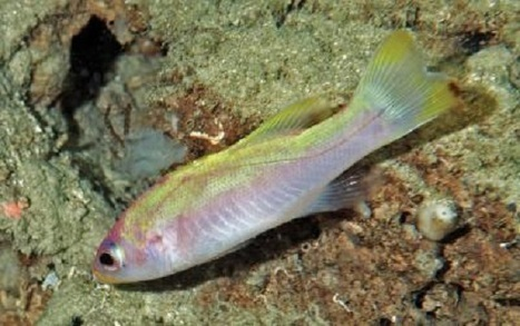 New Species of Colorful Golden Bass Discovered on Caribbean Coral Reef | All about water, the oceans, environmental issues | Scoop.it