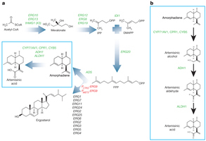 High-level semi-synthetic production of the potent antimalarial artemisinin | SynBioFromLeukipposInstitute | Scoop.it