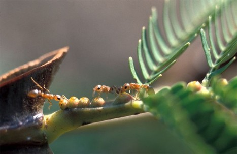 Symbiose acacia-fourmis : un nouveau niveau dévoilé | Picto Communication Partner | Scoop.it
