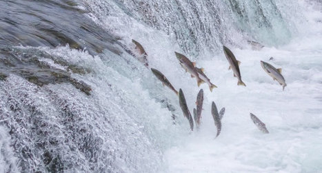 Rights of Spawning Salmon Could Trump Gold Miners' Federal Guarantee - PJ Media | Fish Habitat | Scoop.it