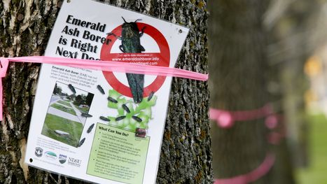 Forestry leaders warn of emerald ash borer threat - St. Cloud Times | Pests and diseases in forestry | Scoop.it