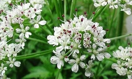 Le piante della salute: l'angelica | fiori e piante, curiosità e notizie | Scoop.it