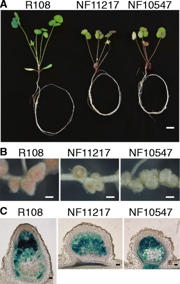effect of the symbiotic nitrogen fixation Role of some of mineral nutrients in biological nitrogen fixation  effect of low levels of combined nitrogen  for symbiotic nitrogen fixation for host.