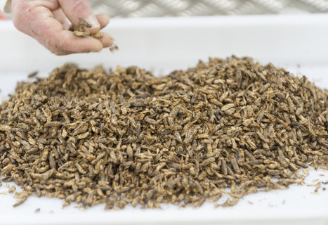 Are Crickets The New Lobster? The Case For Eating Insects | Entomophagy: Edible Insects and the Future of Food | Scoop.it