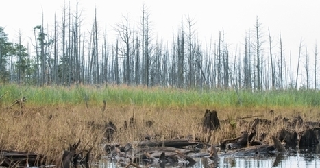 'Ghost Forests' Appear As Rising Seas Kill Trees | Gaia Diary | Scoop.it