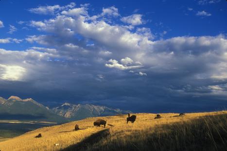 Montana Moves Toward Buffalo Roaming Free   adventure journal   Gear   Scoop.it