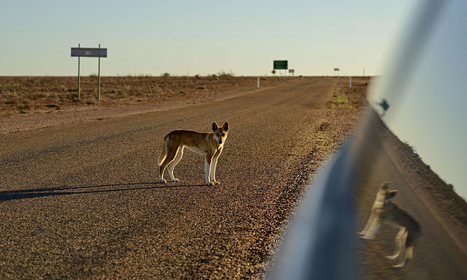 Australian Dingo is a unique species and not a kind of wild dog, study finds | Amazing Science | Scoop.it