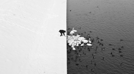An Incredible B&W Photograph of a Man Feeding Ducks and Swans | Technology and Innovation Resources | Scoop.it