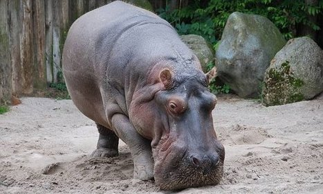 Hippo chokes to death after visitor throws a tennis ball at him | Animal Management | Scoop.it