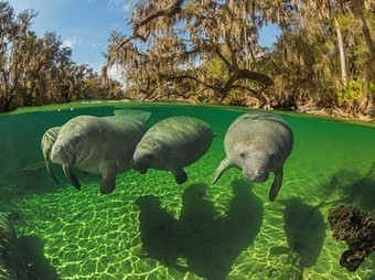 Manatee Picture -- Underwater Wallpaper -- National Geographic Photo of the Day | Bookyourdive | Scoop.it