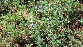 Selecting nondormant alfalfa varieties for Arizona | Western Farm Press | CALS in the News | Scoop.it