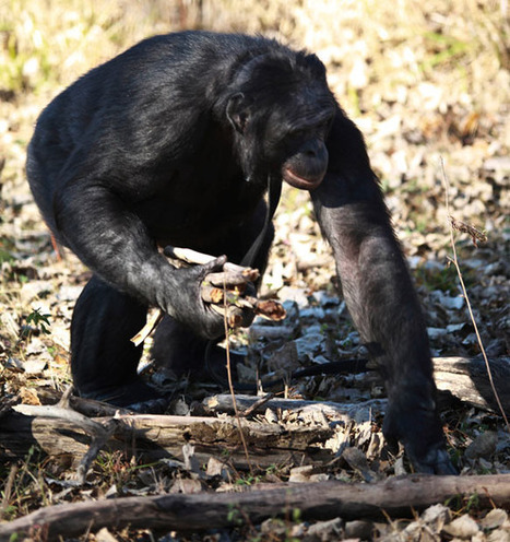 Amazing photos of Kanzi the bonobo lighting a fire and cooking a meal - Telegraph | Prehistoric Archaeology & Human Evolution | Scoop.it